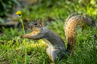 Squirrel and a Dandelion 2