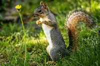 Squirrel and a Dandelion 1