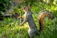 Squirrel and a Dandelion 4