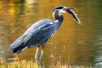 Great Blue Heron with Trout