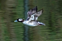 Bufflehead Flight 1