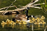 Invasion of the Goslings